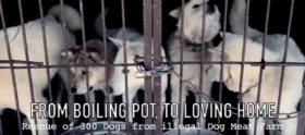 The Dog Meat trade in Korea 270516